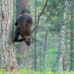 Luontokuva ahma, Valokuvaaja Stepi Sundberg