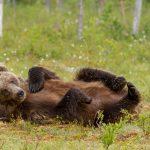 Valokuvaaja Stepi Sundberg luontokuva karhu makaa