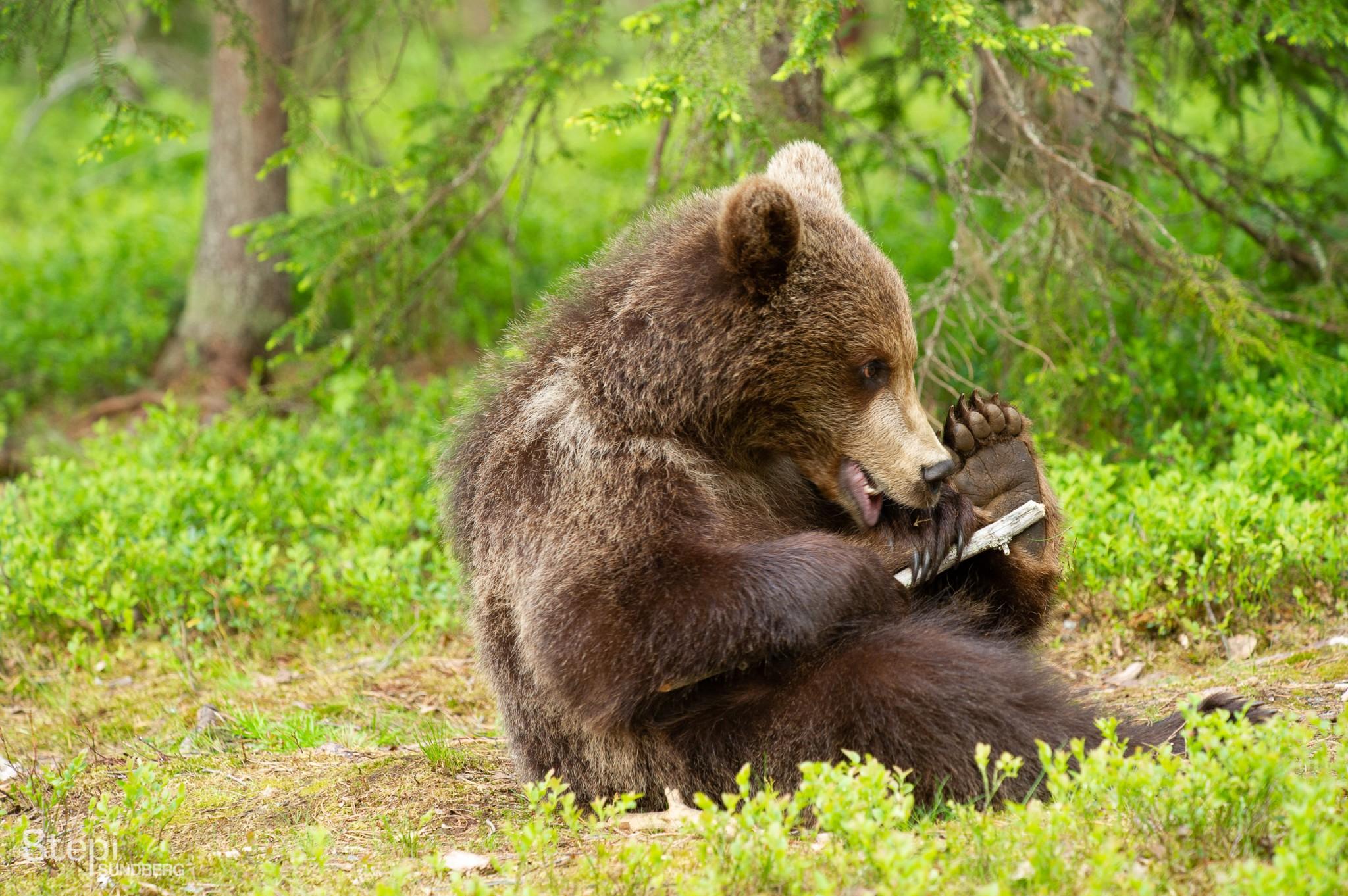 Luontokuva karhu, Valokuvaaja Stepi Sundberg